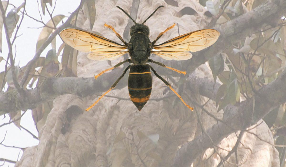 Charla Avispa Asiatica 2018_2 (Large)